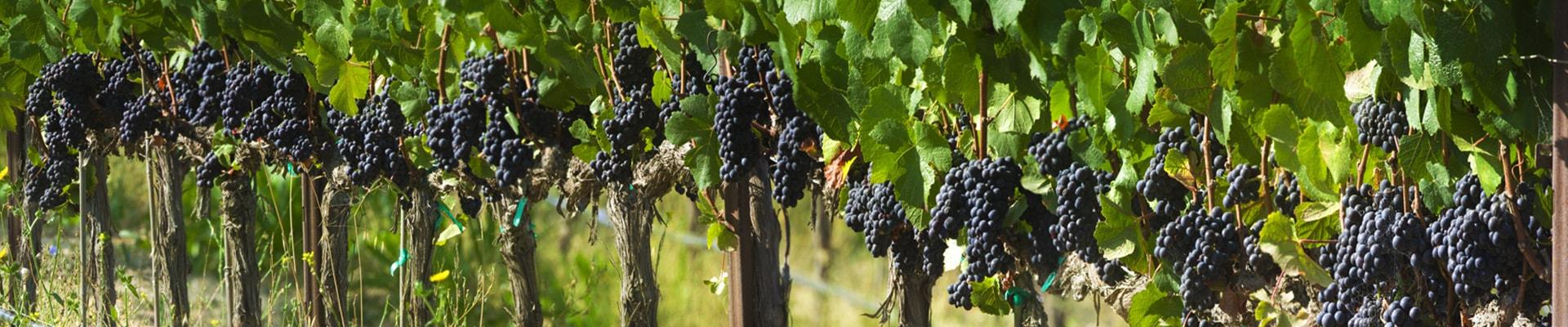 Фото виноградники Испании для изготовления лучего вина