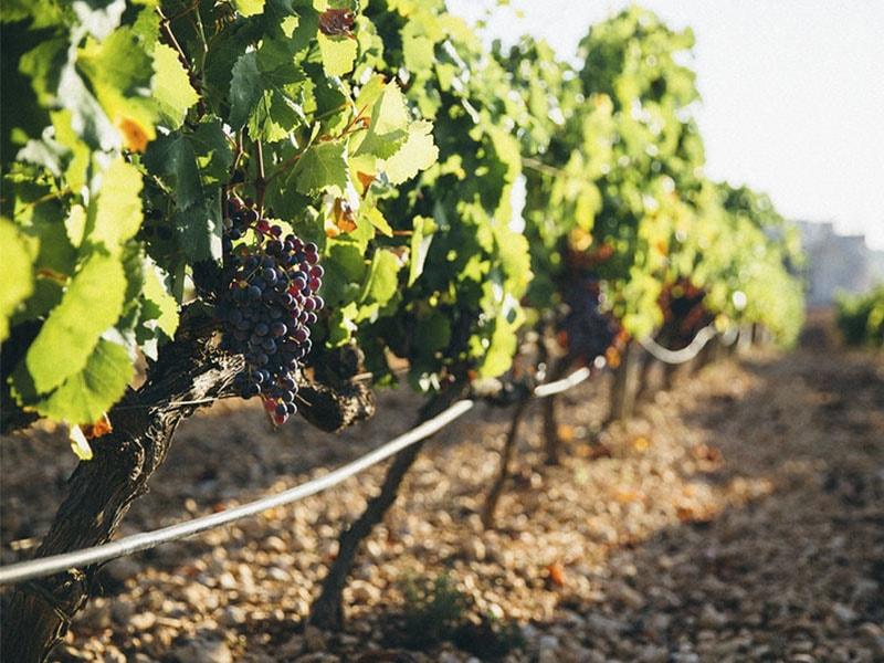 Фото виноградники Майорки, Вино Майорки и Испании