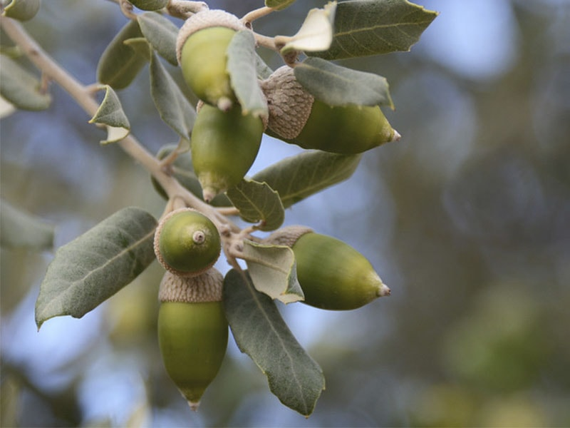 Фото плоды дуба в горах Майорки